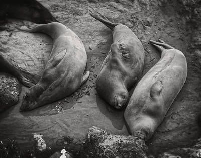 Photograph - Elephant Seals Napping by Sandra Selle Rodriguez