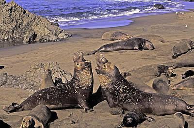 Elephant Seals On Beach Original by Dan Blackburn