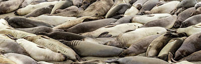 San Simeon Photograph - Elephant Seals On The Beach, Piedras by Panoramic Images