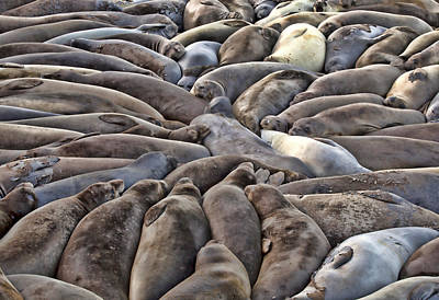 Robert Jensen Photograph - Elephant Seals Slumer Party by Robert Jensen