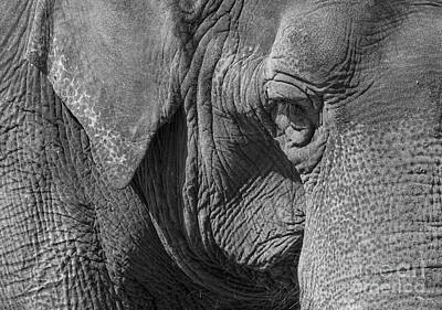 Photograph - Elephant by Steven Ralser