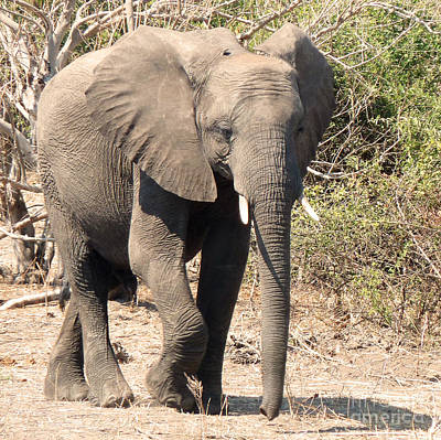 Photograph - Elephant Stroll by Carolyn Jarvis