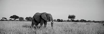 Elephant Tarangire Tanzania Africa Print by Panoramic Images