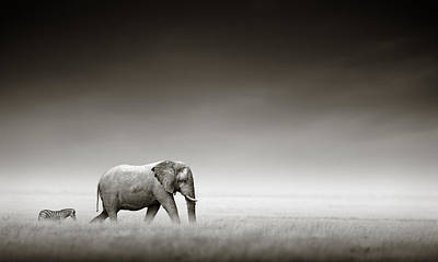 Monochrome Photograph - Elephant With Zebra by Johan Swanepoel