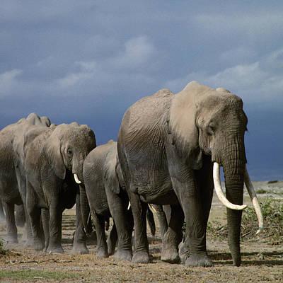 Photograph - Elephants 01 by Wally Hampton