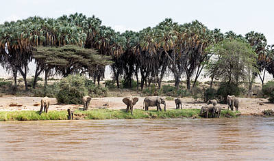 Photograph - Elephants Along The Ewaso Nyiro by June Jacobsen