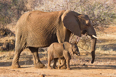 Photograph - Elephants Big And Small by Phil Stone