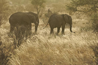 Photograph - Elephants In Golden Grasses by Michele Burgess