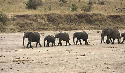 Loxodanta Photograph - Elephants In Line by Sally Weigand
