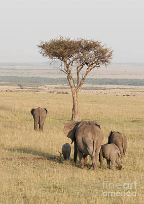 Thorn Tail Photograph - Elephants In The Mara by Brian Maudsley