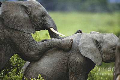 African Sex Photograph - Elephants Playing by Art Wolfe