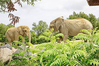 Elephants Thika And Toka At The Toronto Zoo Art Print
