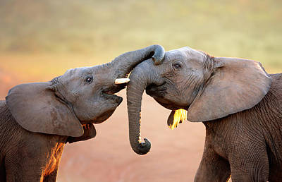 Animals Photos - Elephants touching each other by Johan Swanepoel