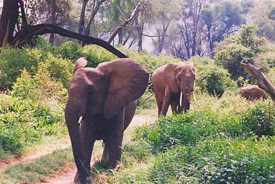 Photograph - Elephants Walking by Belinda Greb