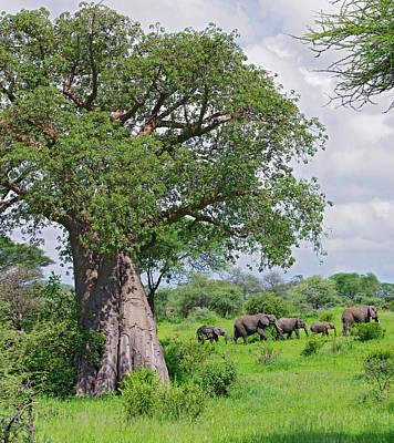Baobab Photograph - Elephants Walking Past Large Baobob by Johnathan Ampersand Esper