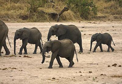 Loxodanta Photograph - Elephants Walking by Sally Weigand