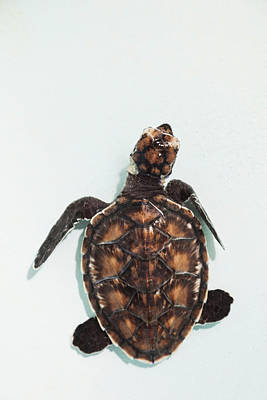 Elevated View Of Baby Sea Turtle, Old Art Print