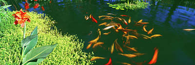 School Of Fish Photograph - Elevated View Of School Of Koi Fish by Panoramic Images