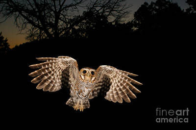 Birds In Flight At Night Photograph - Elf Owl by Scott Linstead