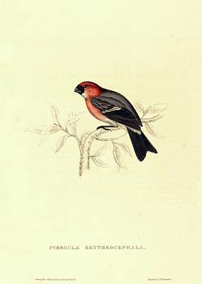 Elizabeth Gould, British 1804-1841, Pyrrhula Erythrocephala Art Print