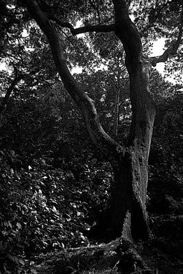 Art Print featuring the photograph Elizabethan Gardens Tree In B And W by Greg Reed
