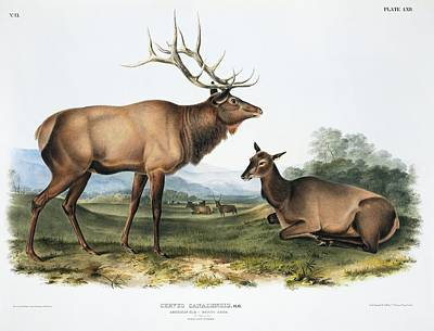 Elk, 19th Century Artwork Art Print by Science Photo Library
