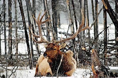 Elk Hide Photograph - Elk 2 by Laura Strain