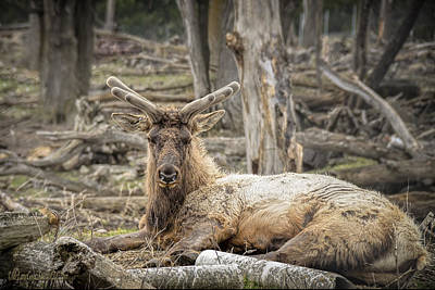 Photograph - Elk And Chipmunk by LeeAnn McLaneGoetz McLaneGoetzStudioLLCcom