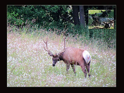 Photograph - Elk And The Nearby Herd by Marie Jamieson
