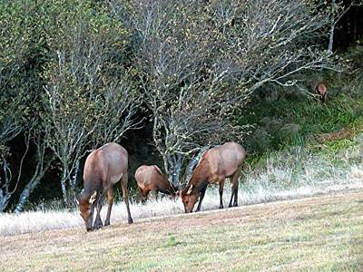 Photograph - Elk At Ecola State Park by Chris Anderson