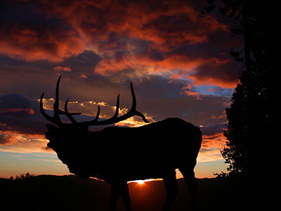 Photograph - Elk At Sunset by Shane Bechler
