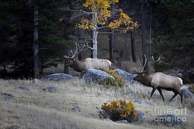 Elk Battle Stalk Art Print