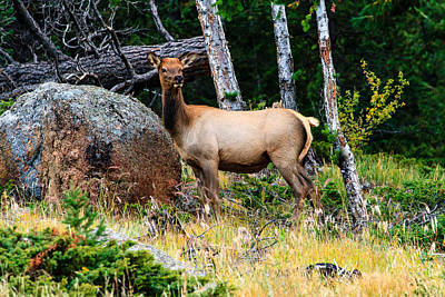 Photograph - Elk by Ben Graham