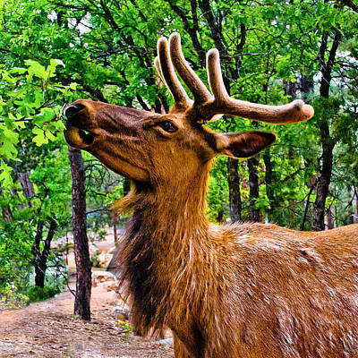 Photograph - Elk Browsing In The Grand Canyon by Bob and Nadine Johnston