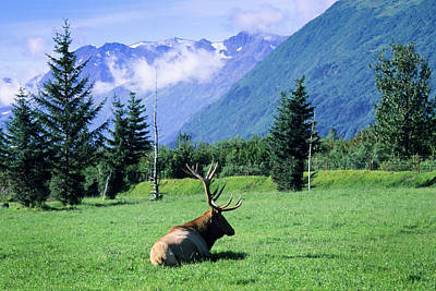 Grazing Elk Photograph - Elk Bull Laying Down In A Pristine by Angel Wynn
