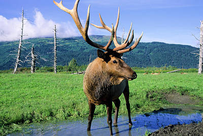 Grazing Elk Photograph - Elk Bull Standing In A Small Stream by Angel Wynn