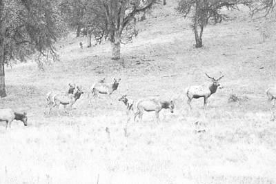 Elk Bull With Harem Art Print