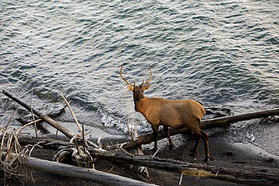 Photograph - Elk By Yellowstone Lake. by Johnny Adolphson