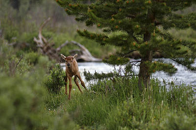 Photograph - Elk Calf by Lee Kirchhevel