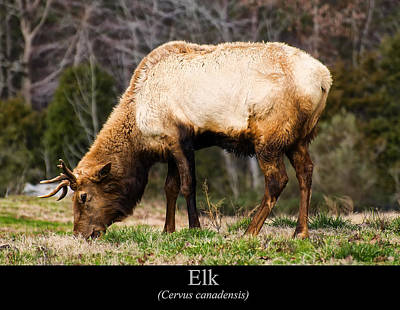 Digital Art - Elk by Chris Flees