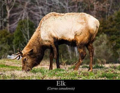 Elk Digital Art - Elk by Chris Flees