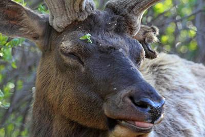 Elk Chuckle Art Print