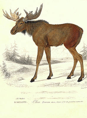 Photograph - Elk by Collection Abecasis