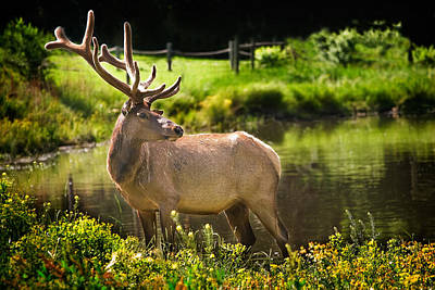 Photograph - Elk by David and Carol Kelly