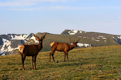 Photograph - Elk Feeding by Rebecca Adams