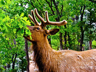 Photograph - Elk - Grand Canyon National Park by Bob and Nadine Johnston