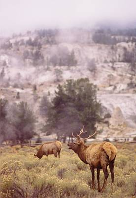 Grazing Elk Photograph - Elk Grazing In Yellowstone National Park by Retro Images Archive