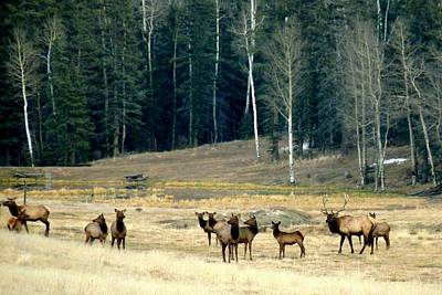 Photograph - Elk Herd At Forest Edge by Marilyn Burton