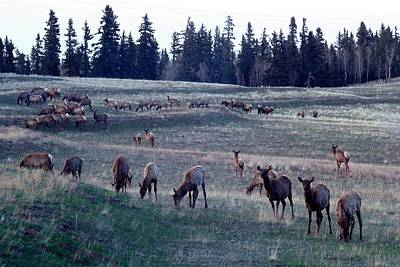 Photograph - Elk Herd On Rolling Hills by Marilyn Burton