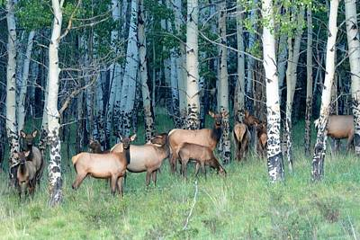 Photograph - Elk In Aspen by Marilyn Burton